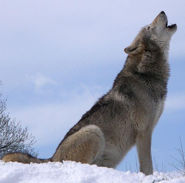 Steeds meer wolven in de westelijke Alpen | Bergwijzer: bergwijzer.nl/nieuws/steeds-meer-wolven-in-de-westelijke-alpen