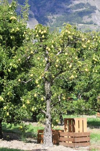 Boomgaard met poire williams. Copyright Association AOC-IGP