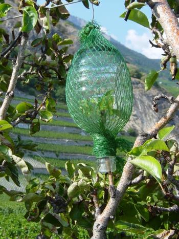 Poire Williams in een fles aan een boom. Copyright CVA