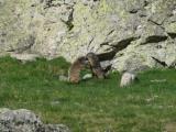 Stoeiende marmotten. foto Petra van der Vlist