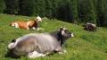 Koe met Alpenbel