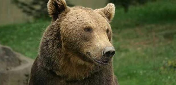 De Europese bruine beer