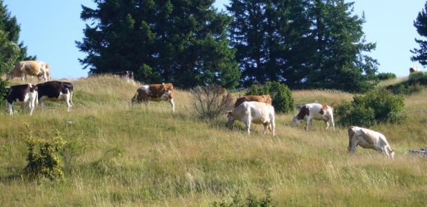 Koeien in Valsugana