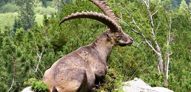De alpensteenbok (Capra ibex)