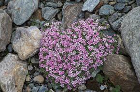planten in het hooggebergte