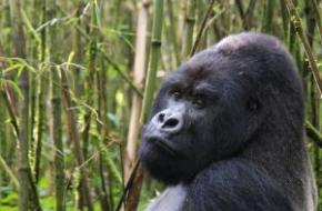 Berggorilla in het Virungagebergte