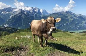 koeien alm