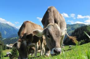 Koeien tijdens je wandeling
