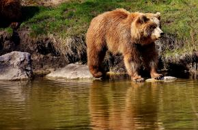 Europese bruine beer. Foto: Pixabay