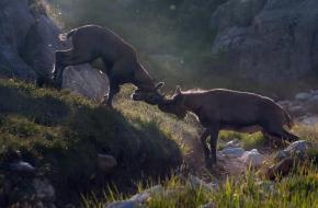 Fighting Ibex. Foto Bas van Laarhoven