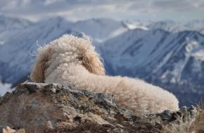 Hondje geniet van de bergen. hondje in de bergen. Foto Paxson Woelber