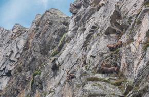 Steenbokken in de Alpen