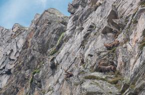 steenbokken uitgezet Zwitserland
