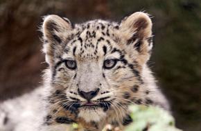 Sneeuwluipaard. Foto Tambako the Jaguar