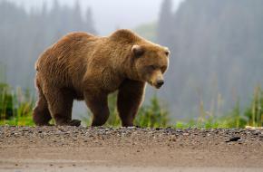Volwassen bruine beer ©Lake Clark National Park & Preserve