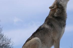 De wolf keert terug in de Alpen